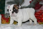 Super Soculent English Bulldog Pups For Free Adoption