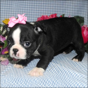 cute boston terrier puppies for rehoming