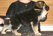 Handsome German Shepherd Dog Puppies available for adoption
