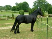 Good looking friesian horse available for rehoming