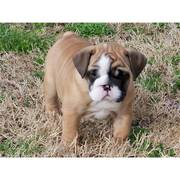 Pretty and adorable bulldog puppy for adoption