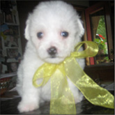 Bichon Frise Puppies for sale