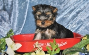 cute and lovely  male and female yorkie puppies ready for xmas